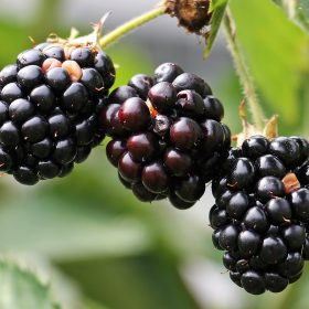 blackberries-1539540_1920
