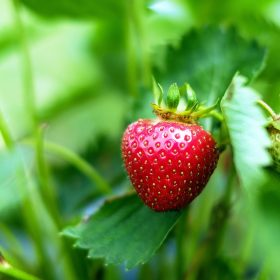 strawberries-1453352_1920 (1)