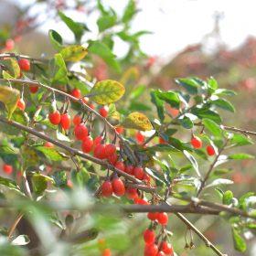 gojy organske sadnice